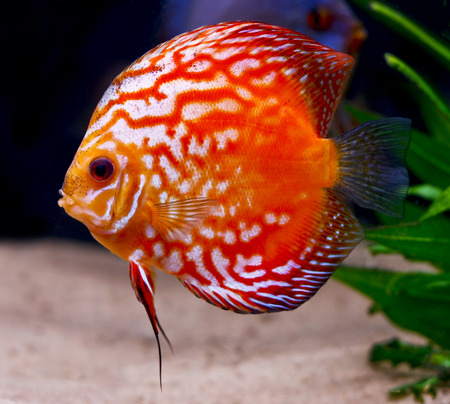 colorful tropical Symphysodon discus fish Stock Photo - 1606627
