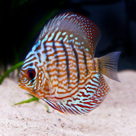 colorful tropical Symphysodon discus fish Stock Photo - 1637355