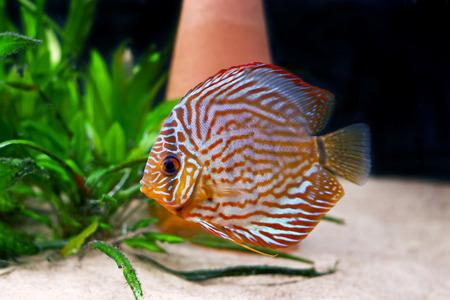 pez disco: colorido tropical Symphysodon discusi�n de pescado