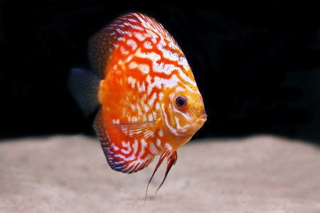 colorful tropical Symphysodon discus fish Stock Photo - 1637358
