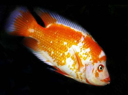red and white cichlid swimming around in aquarium Stock Photo - 1668082