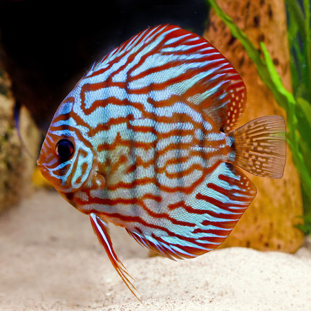 colorful tropical Symphysodon discus fish photo