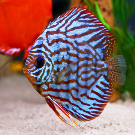 a colorful tropical Symphysodon discus fish red turquise variant photo