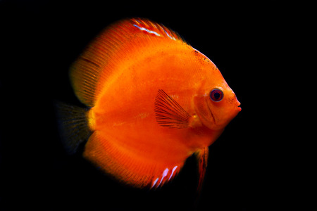 colorful tropical Symphysodon discus fish Stock Photo - 1726377