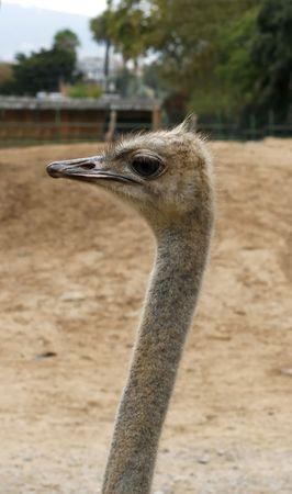 curiousness: a close up of a curious ostrich