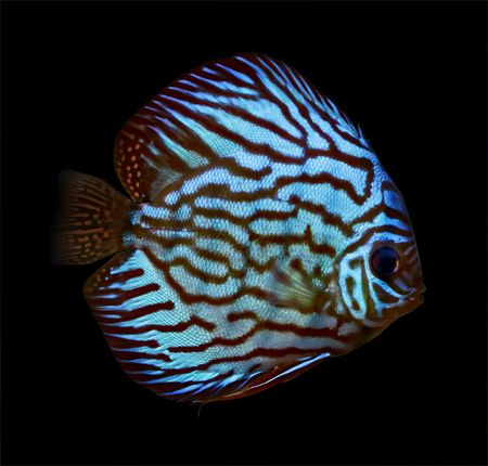 colorful tropical Symphysodon discus fish Stock Photo - 1769799