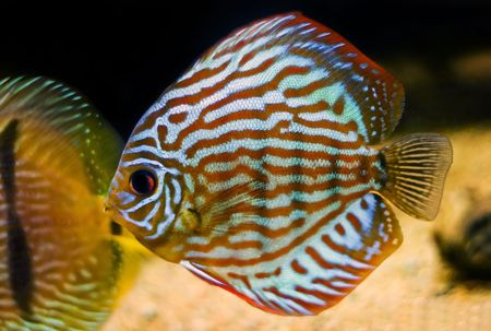 symphysodon: colorful fish from the spieces Symphysodon discus