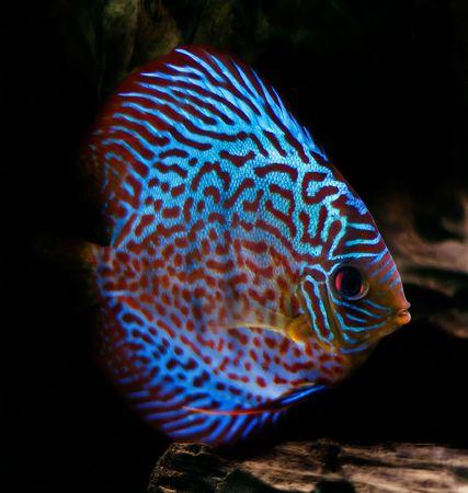 pez disco: coloridos peces de la spieces Symphysodon discusi�n