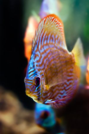 diskus: colorful fish from the spieces Symphysodon discus