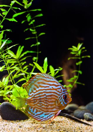 fishtank: colorful fish from the spieces Symphysodon discus
