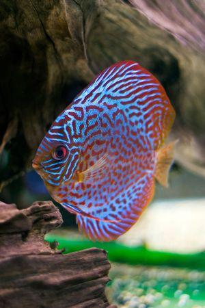 pez disco: peces de colores a partir de la discusi�n spieces Symphysodon Foto de archivo