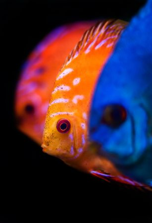 pez disco: coloridos peces desde el lanzamiento de disco de Symphysodon de spieces