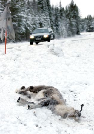 reindeer at the side of the road, hit by a passing car photo