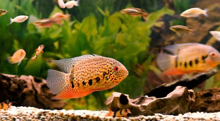 fishtank: a tropical fish swimming around in a fishtank Stock Photo