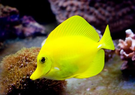a tropical yellow surgeon fish swimming around in a fishtank Stock Photo - 2210776
