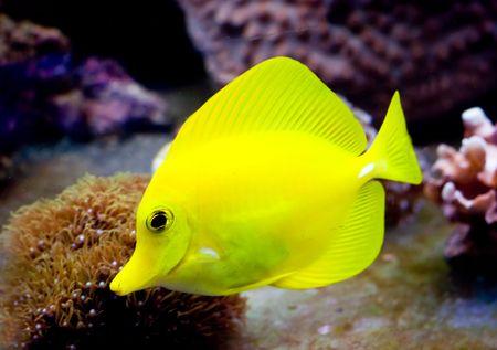 a tropical yellow surgeon fish swimming around in a fishtank Stock Photo - 2210776