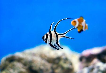 a tropical marine fish swimming around in a fishtank photo