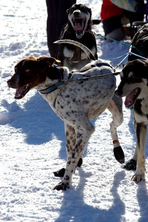 huskies: musher dogs waiting anciously to start a race