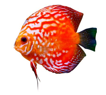 colorful tropical Symphysodon discus fish Stock Photo - 2252137