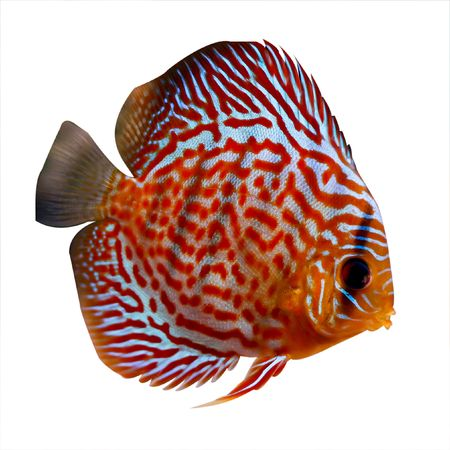 colorful tropical Symphysodon discus fish on white background