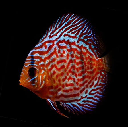 colorful tropical Symphysodon discus fish Stock Photo - 2269095