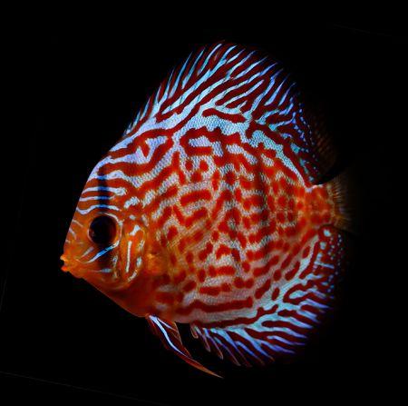 diskus: colorful tropical Symphysodon discus fish