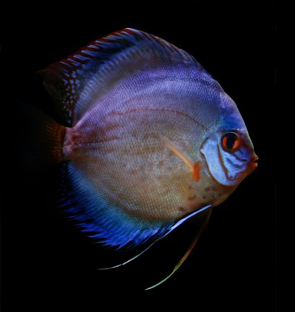 colorful tropical Symphysodon discus fish Stock Photo - 2269089