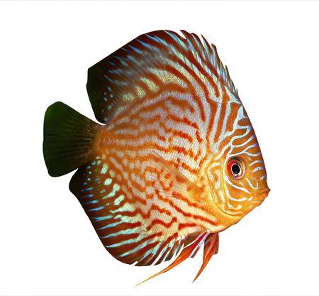 pez disco: Pescados del disco de Symphysodon en un fondo blanco