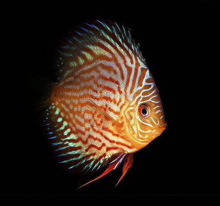 Symphysodon discus fish on a black background photo