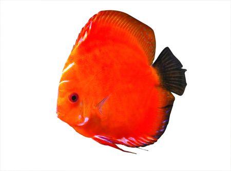 peces de acuario: Symphysodon discusi�n peces de acuario