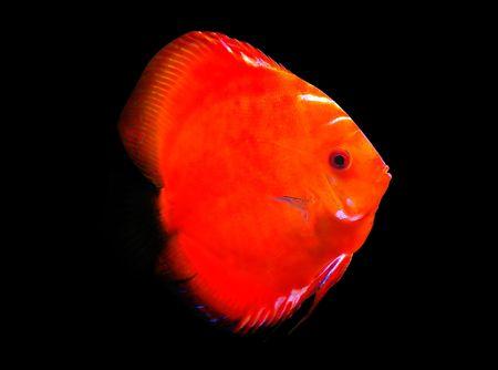 symphysodon discus: Symphysodon discus aquarium fish