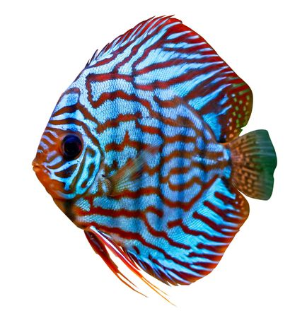 a colorful tropical Symphysodon discus fish red turquise variant Stock Photo