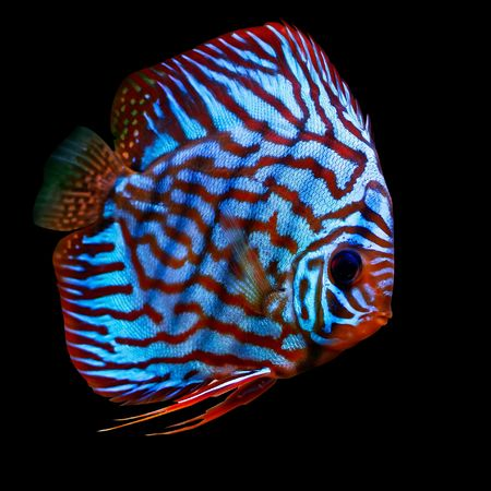 pez disco: coloridos peces tropicales Symphysodon disco rojo turquise variante