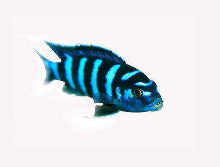 colorful cichlid from lake malawi, Africa Stock Photo - 2331476