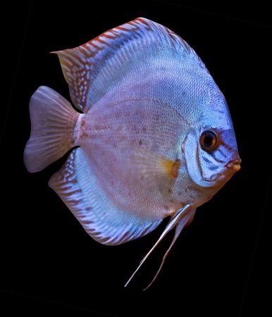 discus fish: colorful tropical Symphysodon discus fish