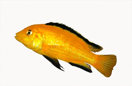 colorful yellow cichlid from lake malawi, Africa