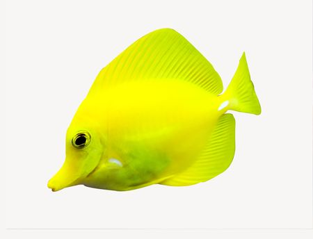 surgeon fish: a tropical yellow surgeon fish swimming around in a fishtank