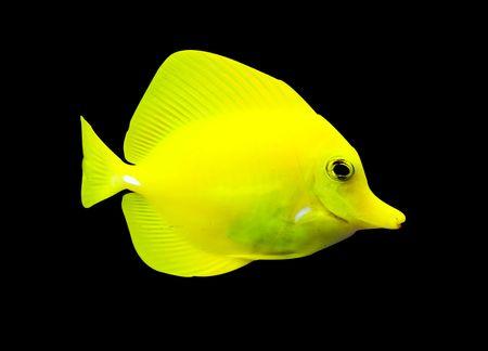surgeon fish: un cirujano amarillo tropical peces nadando alrededor de una Pecera