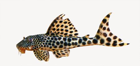 fishtank: colorful spotted tropical catfish swimming  in aquarium