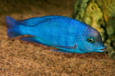 cichlid: cyrtocara moorii a colorful tropical fish of the cichlid