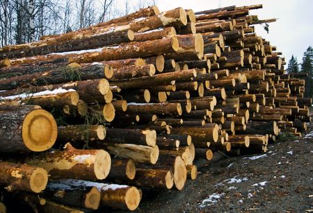 devastated: a pile of pine timber waiting for transport