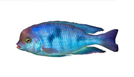 buntbarsch: bunte tropische Fische der cichlid