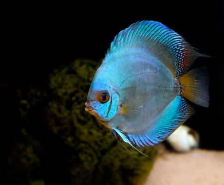 colorful tropical fish of the Symphysodon discus spieces Stock Photo - 2375843