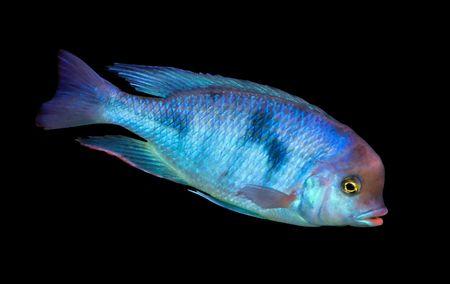 buntbarsch: bunte tropische Fische von der cichlid