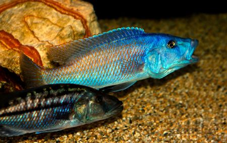fishtank: colorful tropical fish of the cichlid