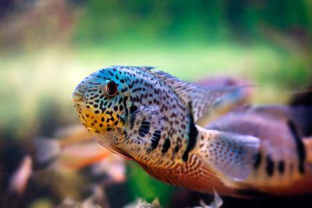 cichlid: colorful cichlid