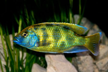 colorful tropical fish of the cichlid Stock Photo - 2379911