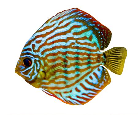 colorful fish from the spieces Symphysodon discus Stock Photo - 2412508