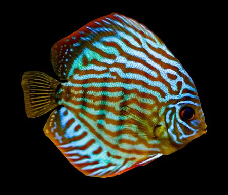 colorful fish from the spieces Symphysodon discus photo