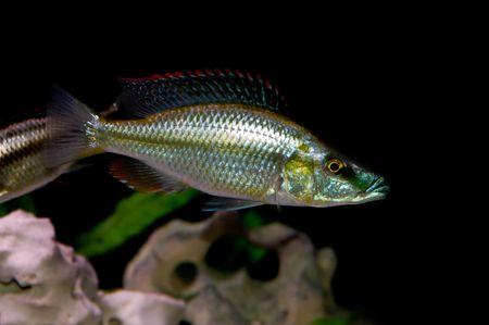 coloridos peces tropicales de la familia cichlid  Foto de archivo - 2412500
